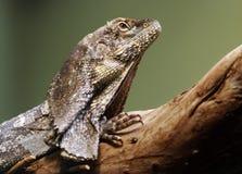 lagarto Volante-necked de Australia Foto de archivo libre de regalías