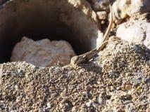 Lagarto y hormiga Foto de archivo libre de regalías
