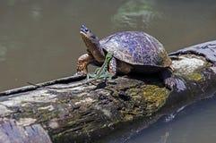 Lagarto y tortuga corrientes del río en Tortuguero - Costa Rica Fotos de archivo