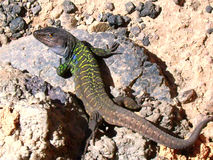 Lagarto1 Stock Photo