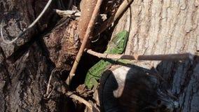 lagartos foto de stock royalty free