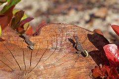 lagartos fotos de stock