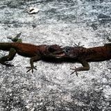 lagartos Fotografia de Stock