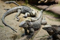 lagartos Fotografia de Stock Royalty Free