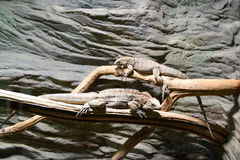 lagartos Imagem de Stock