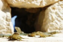 lagartos fotos de archivo libres de regalías