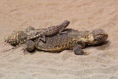 lagartos Imagen de archivo libre de regalías