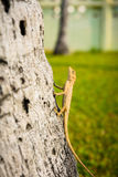 Lagartos, camaleão, camaleão na árvore fotografia de stock royalty free