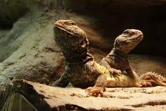 Lagartos: Dos dragones barbudos centrales Fotos de archivo