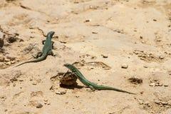 Lagartos en Formentera Foto de archivo libre de regalías