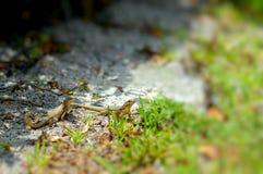 lagartos Rizado-atados Foto de archivo