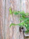 Lagartos verdes de Anole y de Brown Anole Imagen de archivo