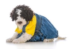 Lagatto romagnolo puppy. Wearing clothing on white background Royalty Free Stock Photo