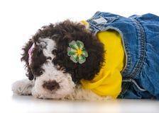 Lagatto romagnolo puppy. On white background Stock Image