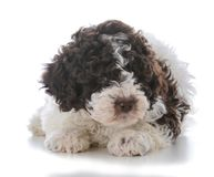 Lagatto romagnolo puppy. Laying down on white background Stock Photo