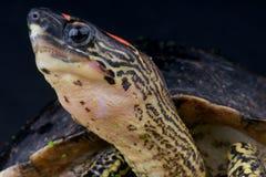 lagd benen på ryggen fläcksköldpadda arkivbild