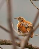 lagd benen på ryggen gräns för fågel hornero Arkivfoton