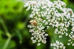 lagd benen på ryggen lång spindel Royaltyfria Foton