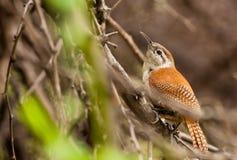 lagd benen på ryggen gräns för fågel hornero Royaltyfri Fotografi