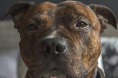 Lage contrastfoto van staffordshire meer bullterrier hoofd met droevige ey Stock Foto's