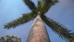 Lage die hoek van één enkele palm met blauwe hemel wordt geschoten stock video