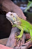 A lage green lizard Royalty Free Stock Images
