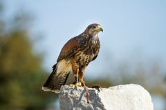 Lage hawk on a rock Stock Photography