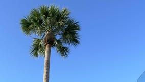 Lage hoek van de palm van Florida tegen duidelijke blauwe hemel, 4K stock videobeelden