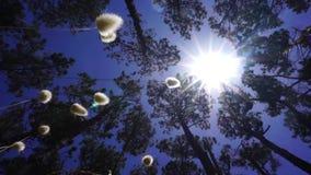 Lage hoekmening door bomen en blazende pluizige zaadhoofden stock videobeelden