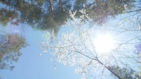 Lage hoekmening van een bloeiende witte luifel van de pruimboom stock videobeelden