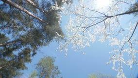 Lage hoekmening van een bloeiende witte luifel van de pruimboom stock video