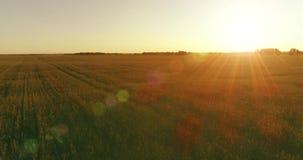 Lage hoogtevlucht boven landelijk de zomergebied met eindeloos geel landschap bij de zomer zonnige avond Zonstralen op horizon stock footage