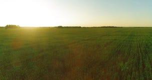 Lage hoogtevlucht boven landelijk de zomergebied met eindeloos geel landschap bij de zomer zonnige avond Zonstralen op horizon stock video