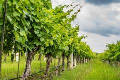 Lage mening van rijen van een druivenwijngaard in Texas Hill Country Royalty-vrije Stock Foto's