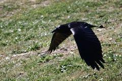 Lage vliegende kraai op zoek naar voedsel Stock Foto