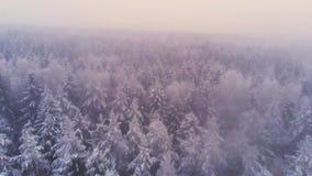 Lage vlucht over sneeuwpijnboombos op de winterdag, luchtschot stock video