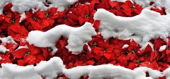 Lagen van sneeuw op heldere poinsettia Royalty-vrije Stock Foto