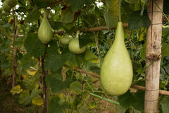Free Lagenaria Siceraria Vegetable Stock Image - 76789341