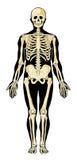 lager avskiljer skelett Arkivfoton