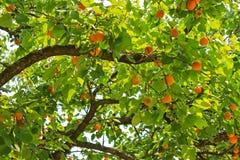 Lager för ett aprikosträd många bär frukt under sommar Fotografering för Bildbyråer