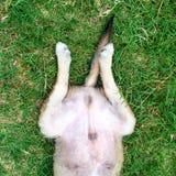 Lager lichaam van hond op het gras Stock Afbeeldingen