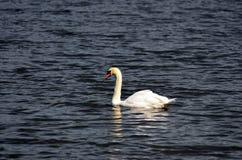 Lagerföra bilden av sjön med en vit svan Arkivbild