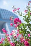 Lagerstroemia Миртл Crepe с городским офисным зданием в предпосылке Стоковое Фото