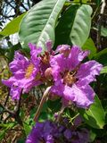 Lagerstroemia obrazy royalty free