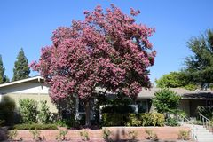 Lagerstroemia, commonly known as crape myrtle or crepe myrtle. royalty free stock photography