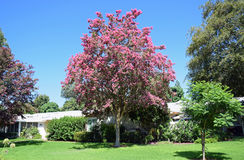 Lagerstroemia, commonly known as crape myrtle or crepe myrtle. Lagerstroemia, commonly known as crape myrtle or crepe myrtle `banaba` Tagalog, is  native to the Royalty Free Stock Image