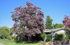 Lagerstroemia, commonly known as crape myrtle or crepe myrtle. stock image