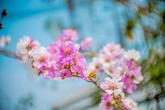 Lagerstroemia cor-de-rosa Foto de Stock Royalty Free