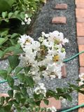 Lagerstroemia or Crape myrtle flowers. Lagerstroemia or Crape myrtle or Crepe myrtle flowers stock photography
