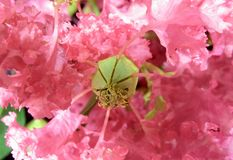 Lagerstroemia (crape myrtle) 2. A macro of a crape myrtle flower Royalty Free Stock Image
